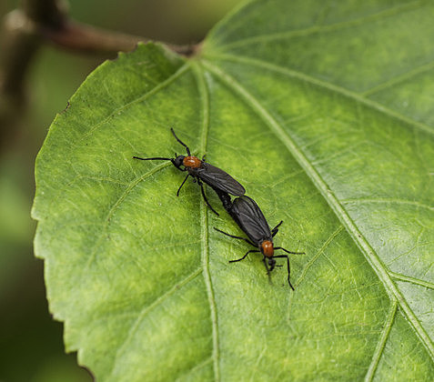 Mating pair of black and red lovebugs on a green leaf